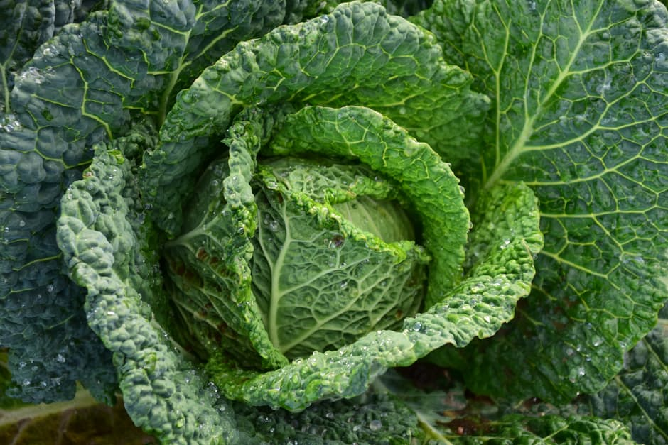 greeen cabbage